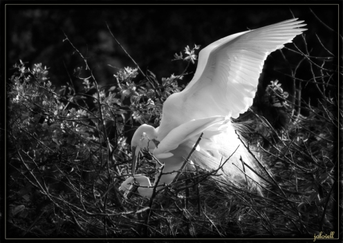 Black and White Treatment of Mating White Egrets