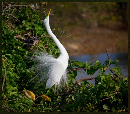 White Egret - Elegant Mating Display with extended neck
