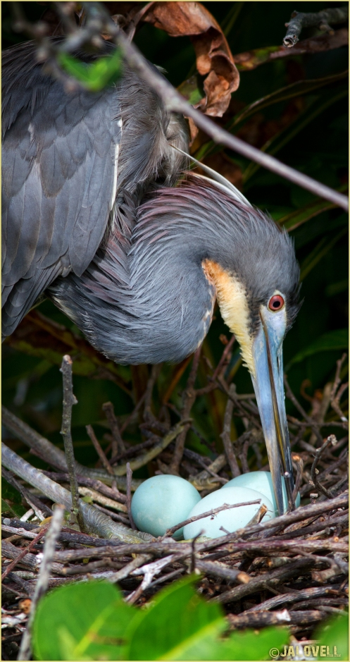 Tri-color Heron (Louisiana Heron) Arranges Twigs in Nest with 3 blue eggs