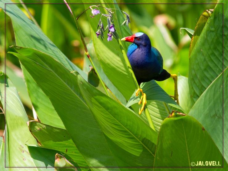 Purple Gallinule balances on leaves and stems of fireflag seeking its delicate purple blossoms