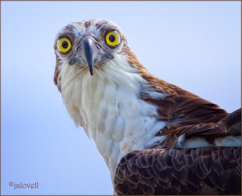 Osprey Glare_9203-wps