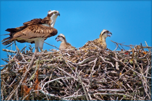 Osprey with 2 chicks on nest_9231wps-2