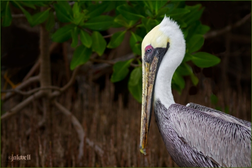 Brown Pelican against Mangrove Background-Key Largo